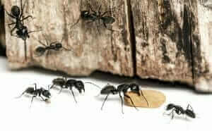 Get Ready for Carpenter Ants to Come out of Hibernation