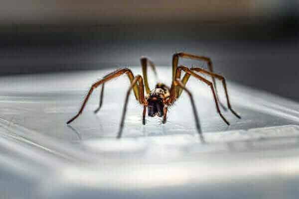 exterminateur araignée