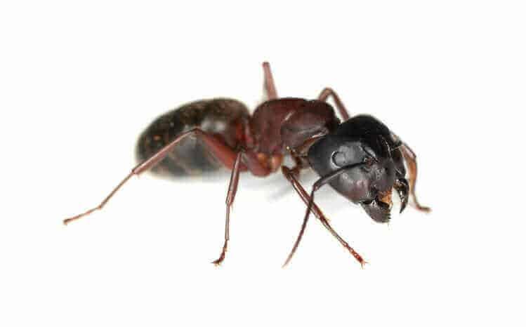 fourmis charpentières - Central Extermination
